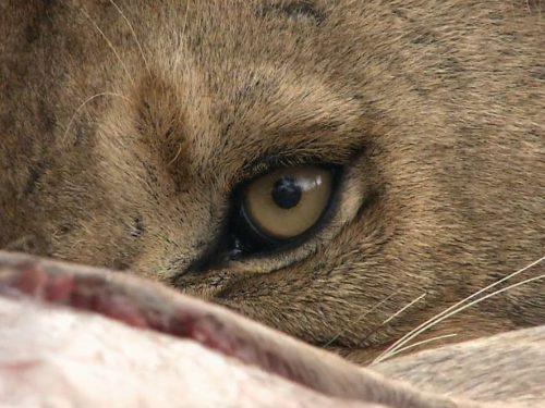 BROTHERS IN BLOOD: THE LIONS OF SABI SAND (Fratelli di sangue: i leoni del Sabi Sand) del 2015 di Daniel Huertas